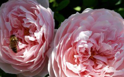 When Summer In Daylesford Smells Pink